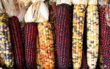 Giống ngô có hạt đa màu và óng ánh như ngọc