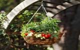 Muôn kiểu trồng cà chua