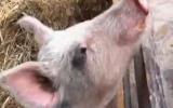 Treo thưởng 5.000 USD để tìm lợn