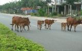 Nguy hiểm khi bò thả rong giữa đường