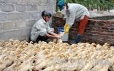 Tiền Giang công bố dịch cúm A/H5N1 trên gia cầm
