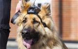 Chó nghiệp vụ được nhận lương hưu