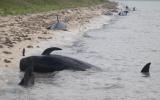 Cá voi chết hàng loạt ở Mỹ
