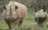 Mua bán, vận chuyển sừng tê giác có thể nhận 7 năm tù