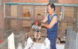Gà Đông Tảo thả vườn: Mô hình nông nghiệp đô thị hiệu quả