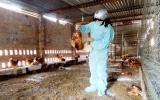 Chủ động phòng ngừa dịch cúm gia cầm lây lan