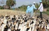 Thực hiện nghiêm Công điện về phòng chống dịch cúm gia cầm