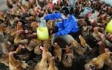 Phú Giáo: Chủ động, quyết liệt phòng chống dịch cúm gia cầm