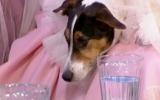 Tổ chức đám cưới long trọng với chó cưng