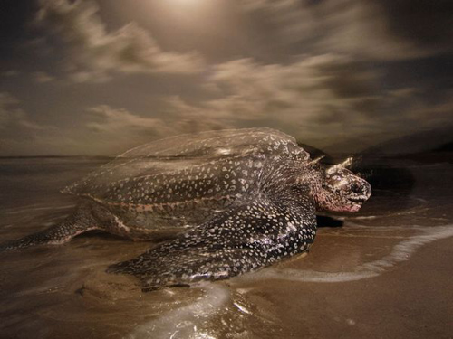 leatherback-turtle-night-4135-4387-3092-