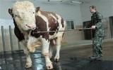 Chú bò khổng lồ có vóc dáng vượt qua đầu người