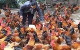 Công bố hết dịch cúm gia cầm H5N1 trên cả nước