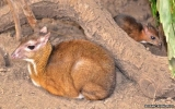 Loài hươu chỉ bé bằng chuột hamster