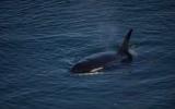 Cá voi trăm tuổi, sống lâu nhất thế giới