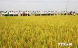 Hà Nội khảo nghiệm thành công giống lúa mới cho năng suất cao