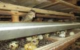 Nuôi chim cút - nghề được nhiều nông dân lựa chọn