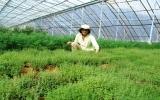 Chán bất động sản, đại gia trồng rau thơm kiếm bạc tỷ