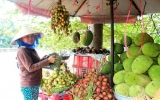Vườn cây ăn trái Lái Thiêu: Giá trị đang dần khôi phục