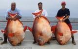 Ba người bạn cùng câu được ba con cá Mặt Trăng cực hiếm