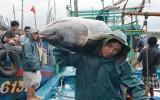 """Tổ quốc bên bờ sóng: """"Vua"""" cá ngừ đại dương Năm Rỵ"""