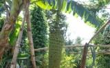 Đắk Lắk: Buồng chuối 150 nải, dài hơn 2m