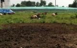 Chăn nuôi trong khu dân cư P. Tân Đông Hiệp, TX. Dĩ An: Ô nhiễm môi trường sống!