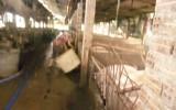 Thị xã Dĩ An: Lập lại trật tự đối với ngành nghề chăn nuôi