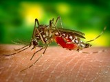 Nhật Bản phát triển thành công  kháng thể chống sốt xuất huyết