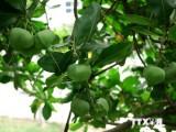Ươm trồng thành công cây bàng vuông trên đảo Lý Sơn