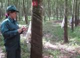 Duy trì và phát triển cây cao su:  Cần sự nỗ lực từ nhiều phía...