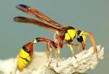 Indonesia sử dụng tò vò chống dịch rệp hồng phá hoại sắn