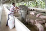 Hiệu quả từ mô hình chăn nuôi heo tập trung