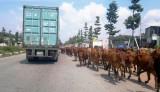 Gia súc thả rông, giao thông trì trệ!