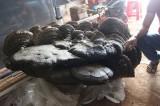 Cây nấm khổng lồ nặng gần 2 tạ