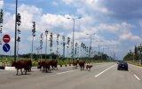 Gia súc thả rong trên đường: Nguy cơ gây tai nạn giao thông