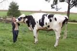 Chú bò cao hơn 1,9m vào sách kỷ lục thế giới