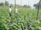 TX. Thuận An: Thực hiện nhiều biện pháp nâng cao hiệu quả kinh tế cây trồng