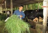 Xã Minh Tân, huyện Dầu: Ra mắt Tổ hợp tác chăn nuôi bò sữa