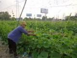Phường Chánh Phú Hòa, TX.Bến Cát: Tập huấn trồng rau an toàn cho nông dân