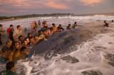 Người dân chung sức giải cứu chú cá voi khổng lồ bị mắc kẹt