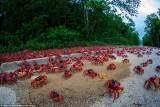 120 triệu con cua nhuộm đỏ rực hòn đảo Giáng Sinh
