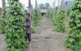 Đổ xô trồng tiêu: Nhiều rủi ro