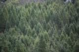 Vì sao cây thông có hình chóp