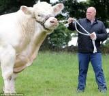 Siêu bò khổng lồ nặng 2 tấn, cao hơn 2m
