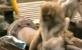 Chú khỉ thông minh cứu bạn bị điện giật thoát khỏi