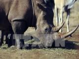 Hơn 6% số tê giác ở Nam Phi đã bị giết hại trong năm 2014