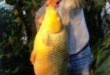 Câu được cá chép vàng dài gần một mét