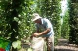Giá tăng, sản lượng giảm: Người trồng tiêu kém vui