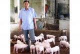 Thành công với mô hình chăn nuôi heo trên đệm lót sinh học