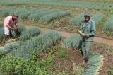 Hiệu quả từ tổ hợp tác trồng rau an toàn